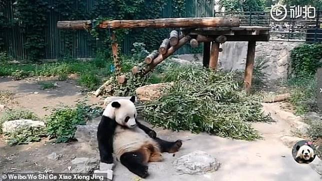 VIRAL Panda Dilempar Batu oleh Turis Selama 30 Menit