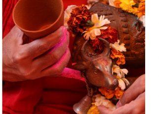 Ratusan Warga India Minum Urine Sapi untuk Cegah Virus Corona